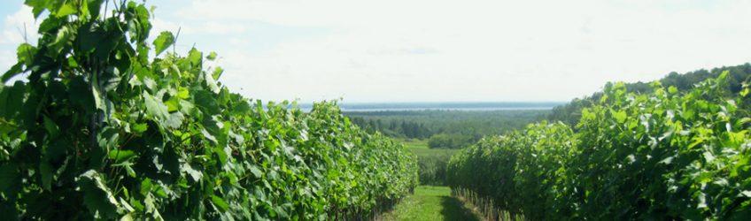 La fertilisation azotée de la vigne