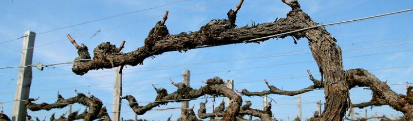 Février, la période idéale pour la taille de la vigne