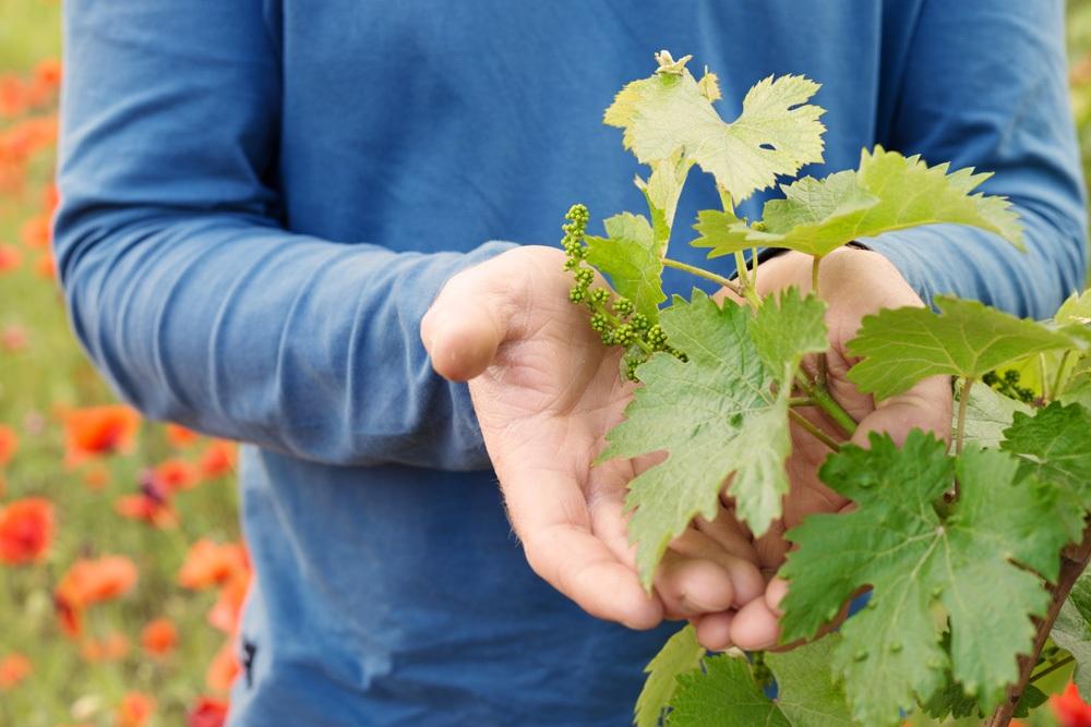 floraison vigne la grande jaugue